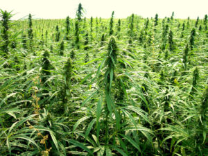 Industrial Hemp – A Fad or a Real Opportunity for Maryland